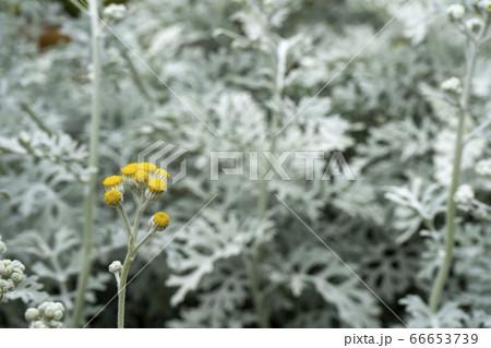 咲き始めたシロタエギク(白妙菊/ダスティーミラー)の花 66653739