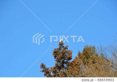 樹上のサギ(谷津池/埼玉県寄居町) 66659903