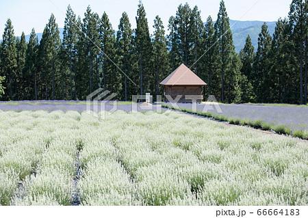 ホワイトラベンダーの咲く公園 秋田県美郷町 66664183