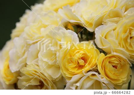美しい黄色い薔薇 ゴールデンボーダー 66664282