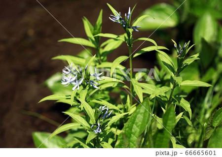 山野草 湿地に咲く、チョウジソウの花 66665601