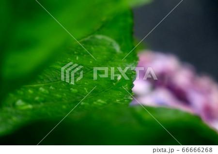 梅雨の花:雨を喜ぶ:あじさいの葉:水滴 66666268