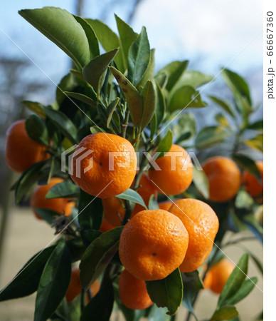 秋空にオレンジ色で映える桜島小みかん 66667360
