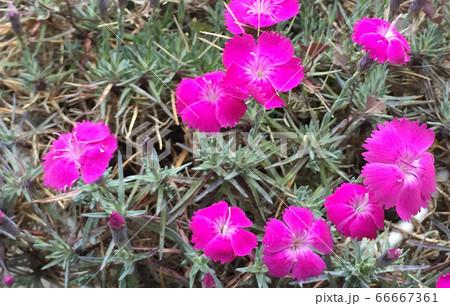 満開に映えるピンク色の鉢植えのナデシコ 66667361