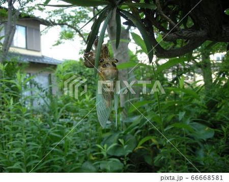 クマゼミの羽化02 幼虫から成虫になる様子を庭で観察 66668581