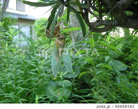 クマゼミの羽化04 幼虫から成虫になる様子を庭で観察 66668583