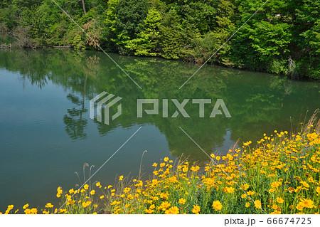 《広島県》鳴滝山にある八注池と、そばに咲くオオキンケイギク 66674725