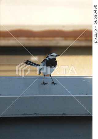 我が家へ訪れた小鳥、ハクセキレイ 66680490