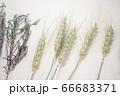 麦とラベンダーのドライフラワー 66683371