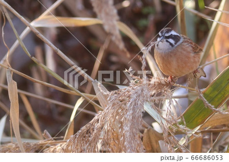 ススキの穂の種を食べるホオジロ 野鳥 66686053