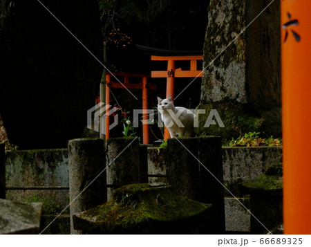 稲荷神社の鳥居の間で神様でも眺めているのか白い猫 66689325