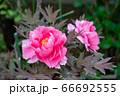 春の日差しに透き通る花びらが輝く鮮やかで気品のある豪華な牡丹 66692555
