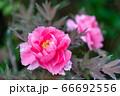 春の日差しに透き通る花びらが輝く鮮やかで気品のある豪華な牡丹 66692556
