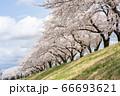 会津美里町宮川千本桜 66693621