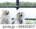 笑顔が可愛い白いポメラニアンと川 66693857