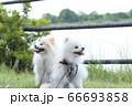 お散歩中の可愛い笑顔のポメラニアン 66693858