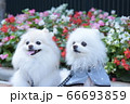 お花をバックに可愛い白いポメラニアン 66693859
