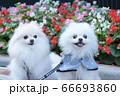 お花をバックに可愛い二匹の白いポメラニアン 66693860