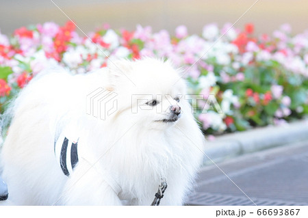 ほのぼのした可愛い白いポメラニアン 66693867