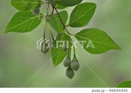 ぶら下がる丸い実が可愛いエゴノキ 66694940