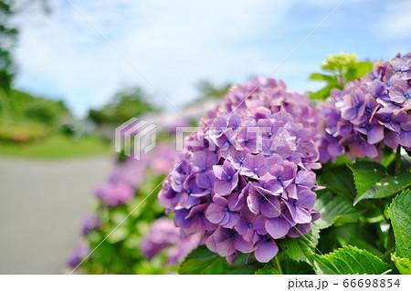 梅雨の合間に晴れた吉野公園の紫陽花 66698854