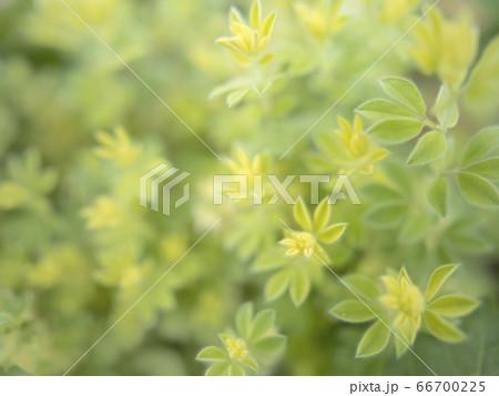 ロータス・ブリムストーンの新緑の葉 66700225