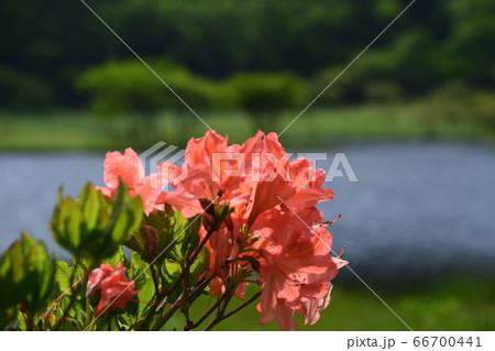 群馬県 赤城山覚満淵に咲くツツジの花 66700441