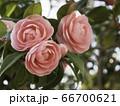 三輪で咲く乙女椿 66700621