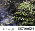 冬の小川とシダ植物 66700624