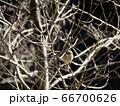 小枝に止まる百舌の雌 66700626