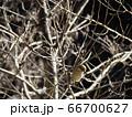 小枝に止まる百舌の雌 66700627