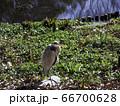 池の畔のアオサギ 66700628