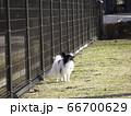 ドッグランで陽を浴びるパピヨン 66700629