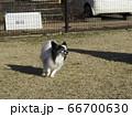 ドッグランで走るパピヨン 66700630