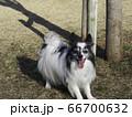 笑顔のパピヨン 66700632