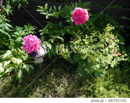 庭先に咲いたシャクヤクとアルケミラモリス 66705102