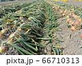 淡路島産玉ねぎの収穫 66710313