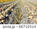 淡路島産玉ねぎの収穫 66710314