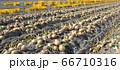 淡路島産玉ねぎの収穫 66710316