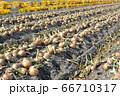 淡路島産玉ねぎの収穫 66710317