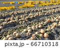 淡路島産玉ねぎの収穫 66710318