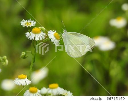 ヒメジョオンの花で蜜を吸うモンシロチョウ 66715160