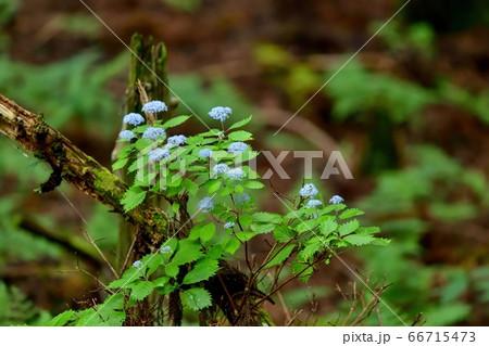 苔むした倒木と満開のコアジサイのコラボ 66715473