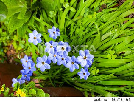ハナニラの庭 ガーデニングの花たち 66716261