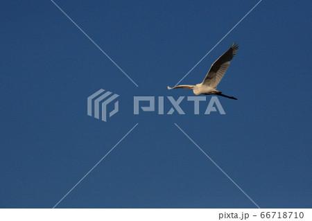 冬の澄み切った青空を悠々と大きな翼を広げ飛ぶサギ 66718710