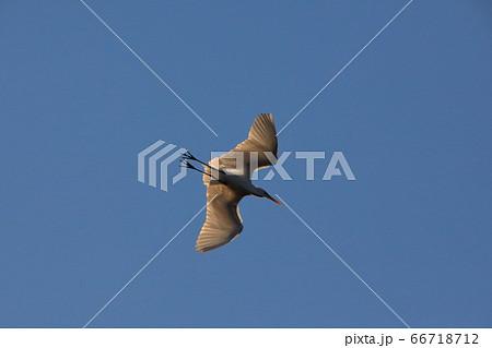 青空に体を透かし悠々と飛び去る白鷺 66718712