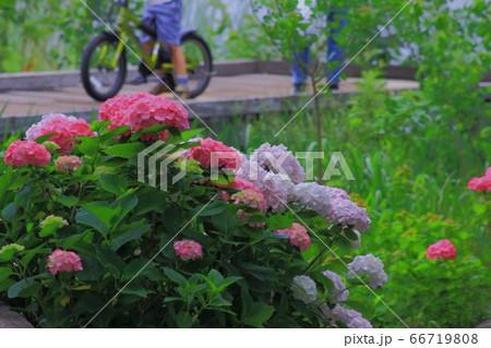 紫陽花と木道と自転車に乗った子供 66719808
