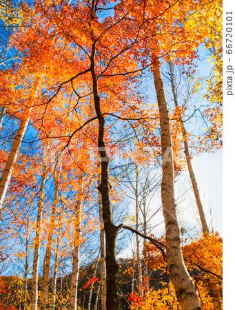 比婆山連峰の秋・白樺林の紅葉と空 広島県 66720101
