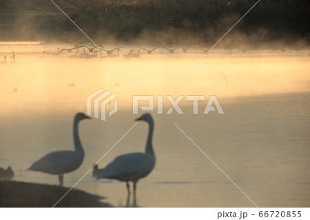 寒い越辺川の毛嵐が立ちのぼる中を群で飛び立つ大白鳥 66720855