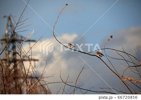 河原の小枝で朝日を浴びるツガイの野鳥ツグミ 66720856